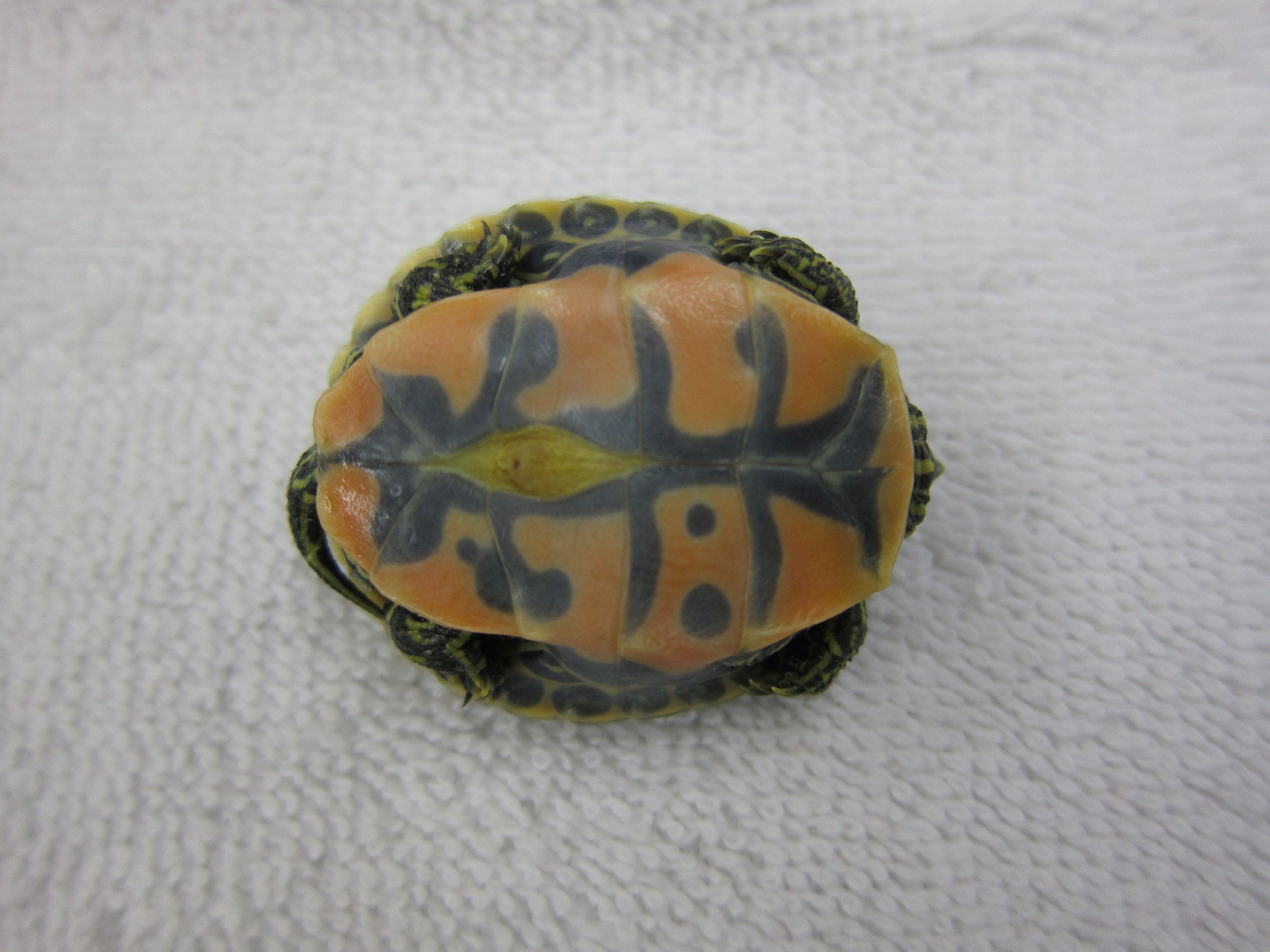 Rivieramayaseaturtles turtles riviera maya pinterest turtle