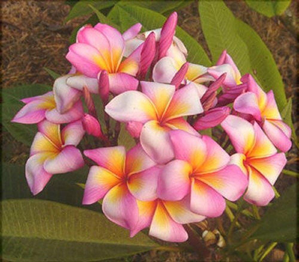 5 Fresh Seeds Frangipani Plumeria Rubra Toffie Flower Pot Design Plumeria Frangipani