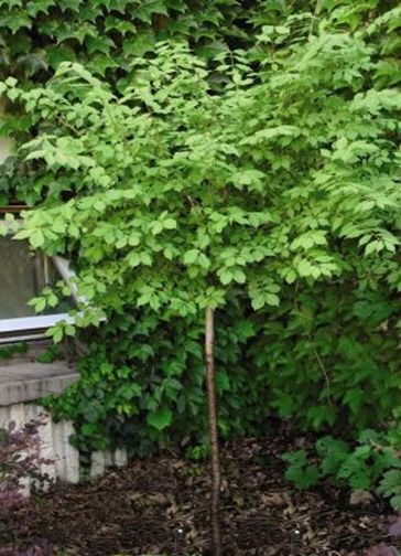 Ornamental Trees For Fort Collins At Just Trees