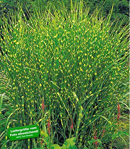 BaldurGarten Chinaschilf Zebragras  Pflanze Miscanthus Zebrinus