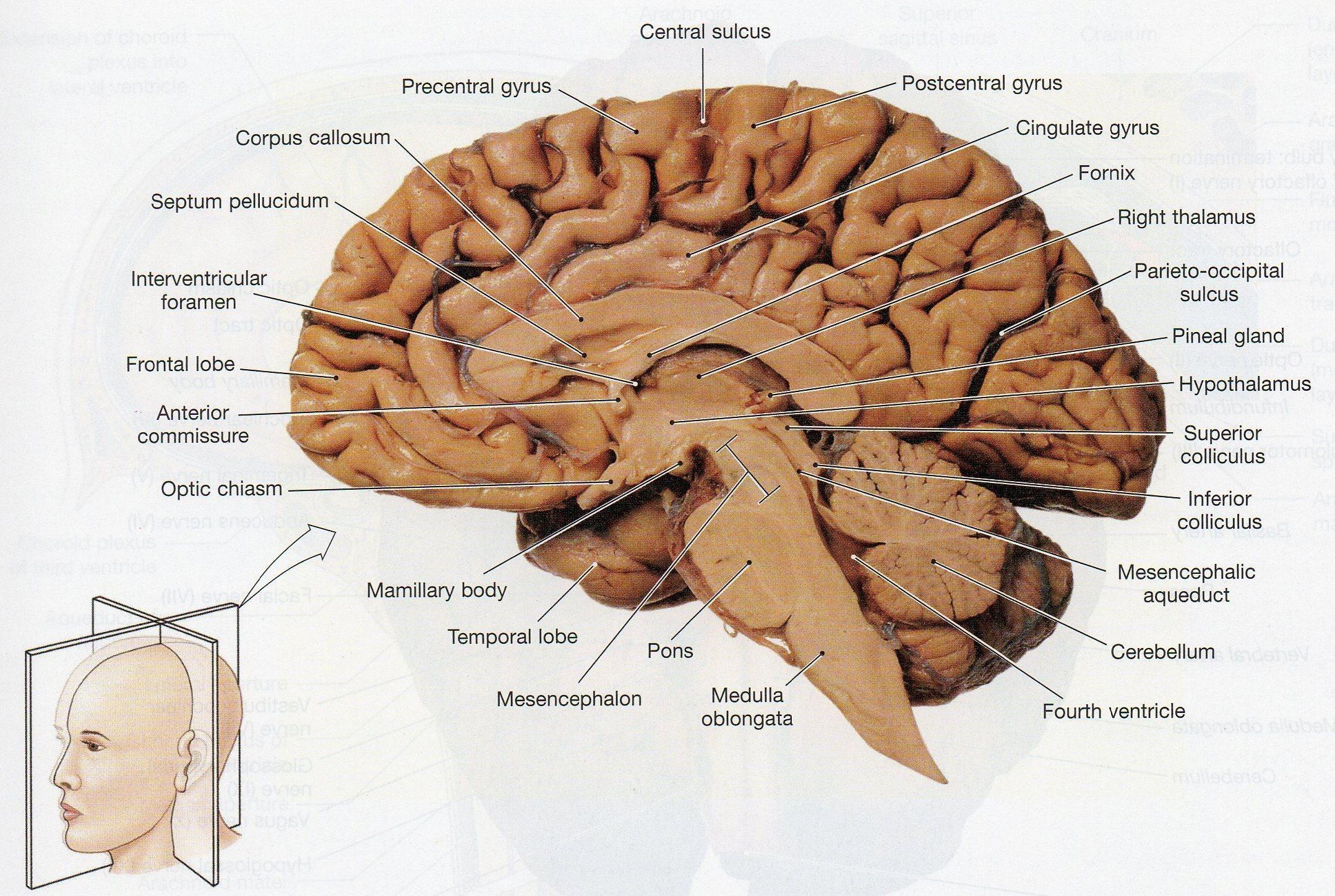 Sagittal Section Of Brain Diagram Image Of A Longitudinal ...
