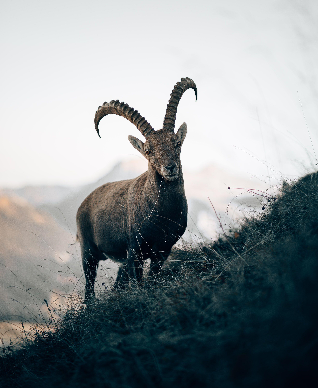 Augstmatthorn   Alpine ibex, Ibex, Ibex goat