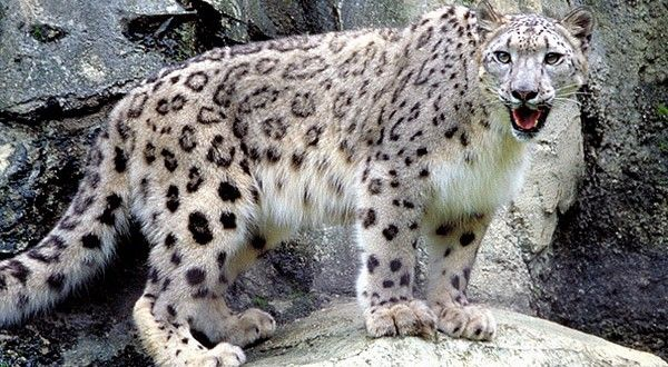 Rare Snow Leopard Pictures | WallPaper Glow