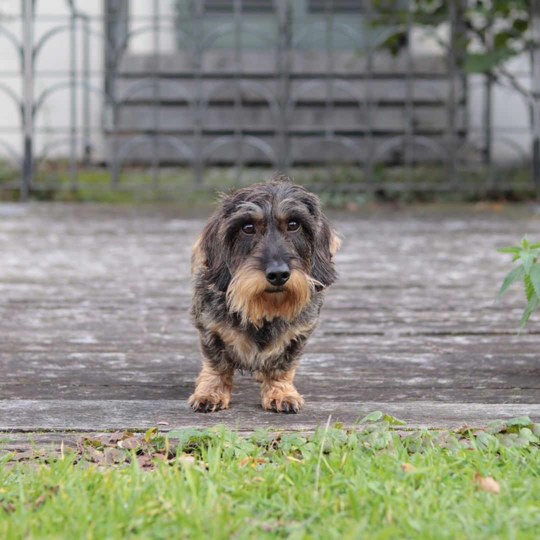Dachshund Accessories For Dogs Dogs Wire Haired Dachshund