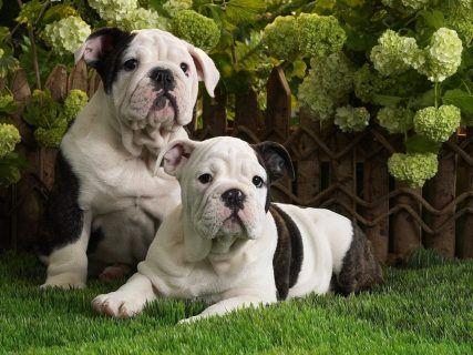 Dogs At The Fence Photo And Wallpaper Beautiful American Bulldog Dogs