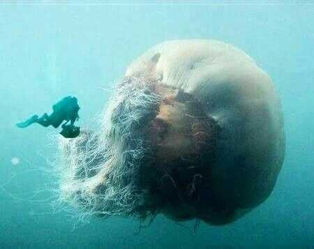 World's largest jelly fish!