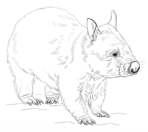 Wombat coloring page from Wombat
