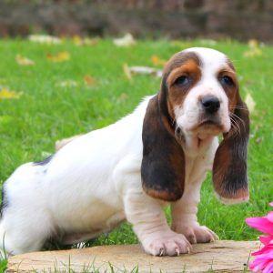 Basset Hound Puppies For Sale Basset Hound Puppy Hound Puppies