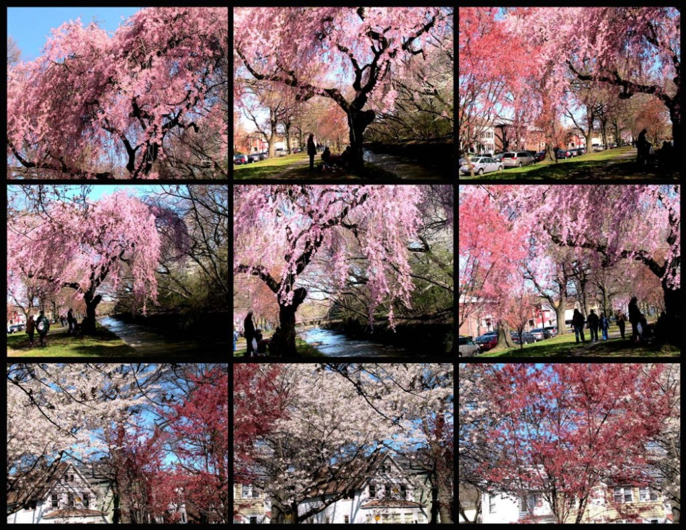 Branch Brook Park Cherry Blossom Festival 2020 Splurgefrugal Com Cherry Blossom Festival Cherry Blossom Blossom