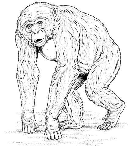 Chimpancé Africano Dibujo para colorear | animales | Pinterest ...