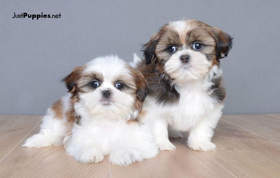 Puppies For Sale Orlando Fl Justpuppiesnet Puppies Pinterest