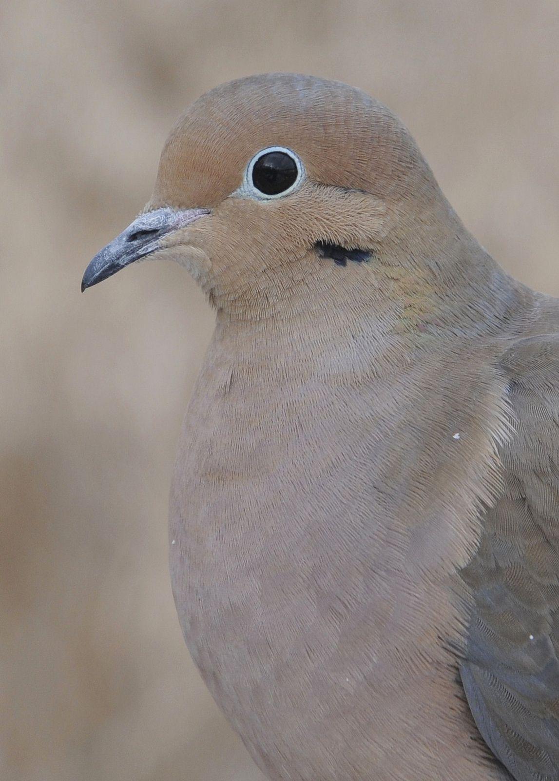 Mourning dove zenaida macroura mourning dove bird and httpsflicpdvarsh mourning dove buycottarizona