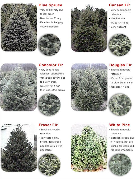 Christmas trees! Our tree is a Concolor Fir this year : ) - smells like  oranges - and our nursery gives the trees names, so