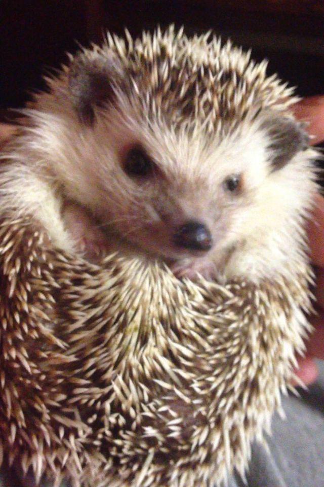Fun hie <3 my African Pygmy Hedgehog