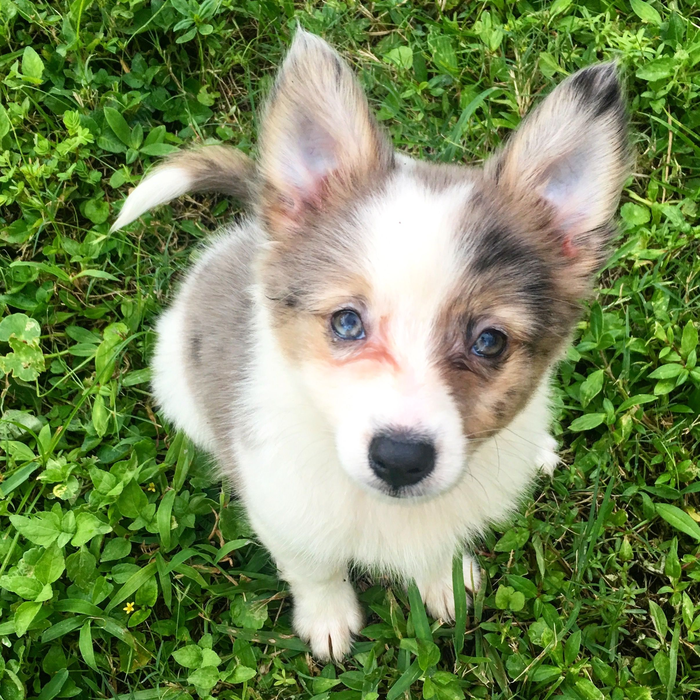 Australian Shepherd Mixed With American Eskimo Puppy American Eskimo Dog American Eskimo Puppy Puppies