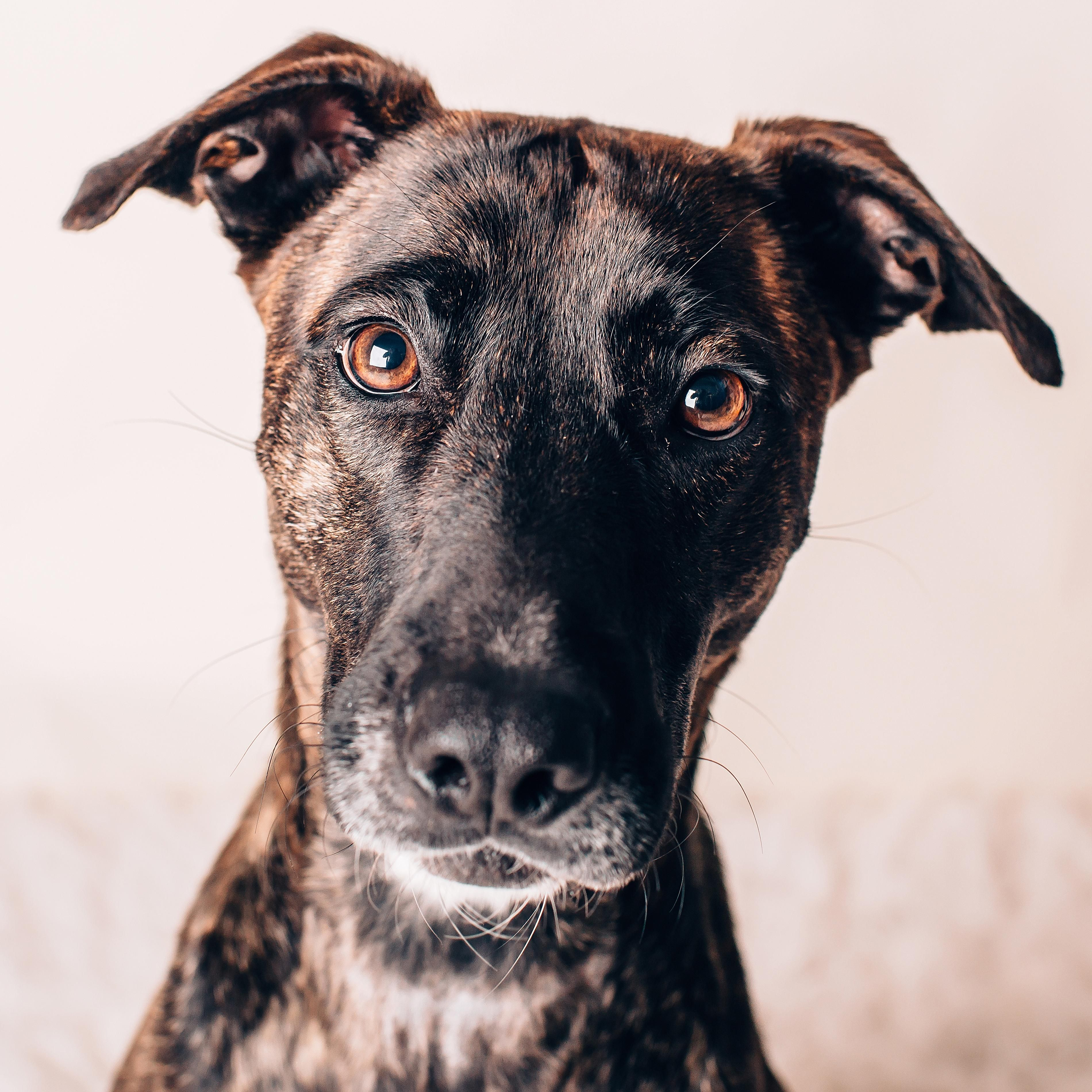 Adopt on Dog adoption, Boxer dogs, Dogs