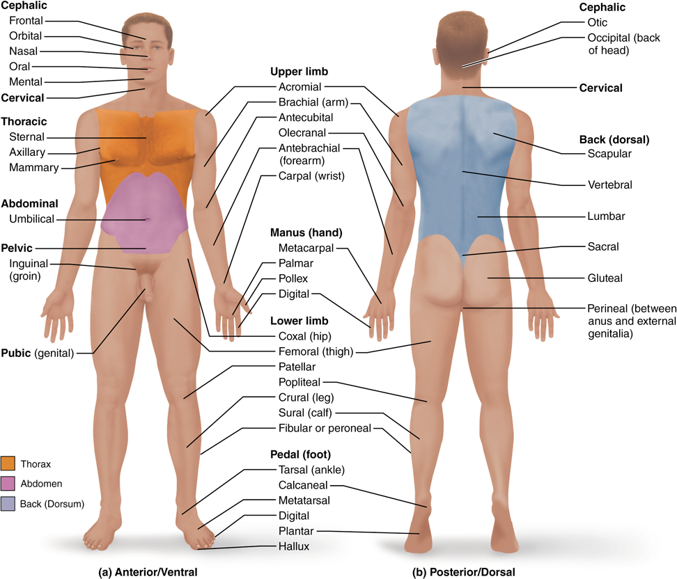 15 Anatomical Terms Describe Body Directions Regions And Planes