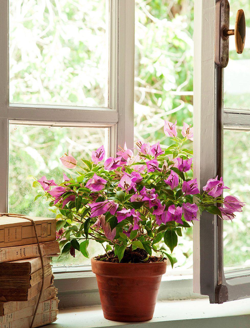 Detalle de buganvilla en una maceta junto a la ventana - Macetas interior ...