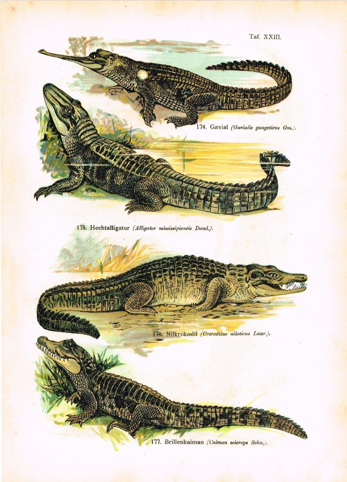 CA 1920 Rainbow Frill Necked Lizard Flying Dragon Reptiles ...