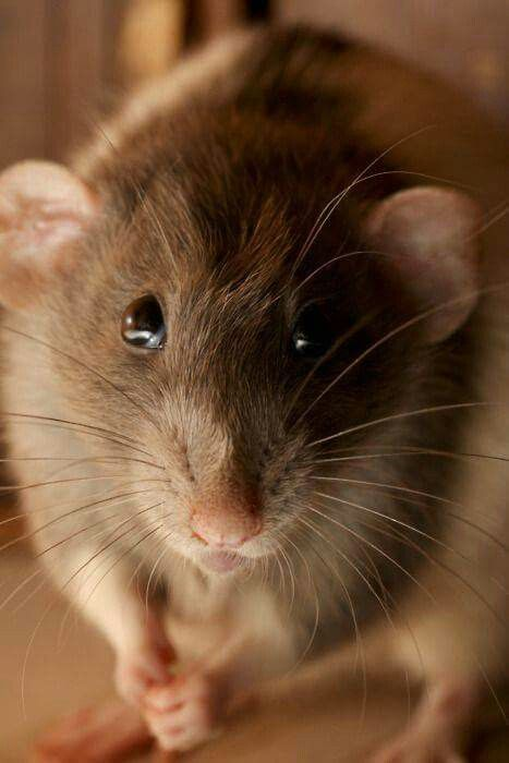 Pin By Michelle Nyree On A Mischief Of Rats Cute Animals Pet Rats Cute Rats