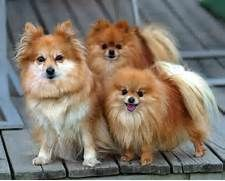 Pomeranians Images Pomeranian Hd Wallpaper And Background Photos