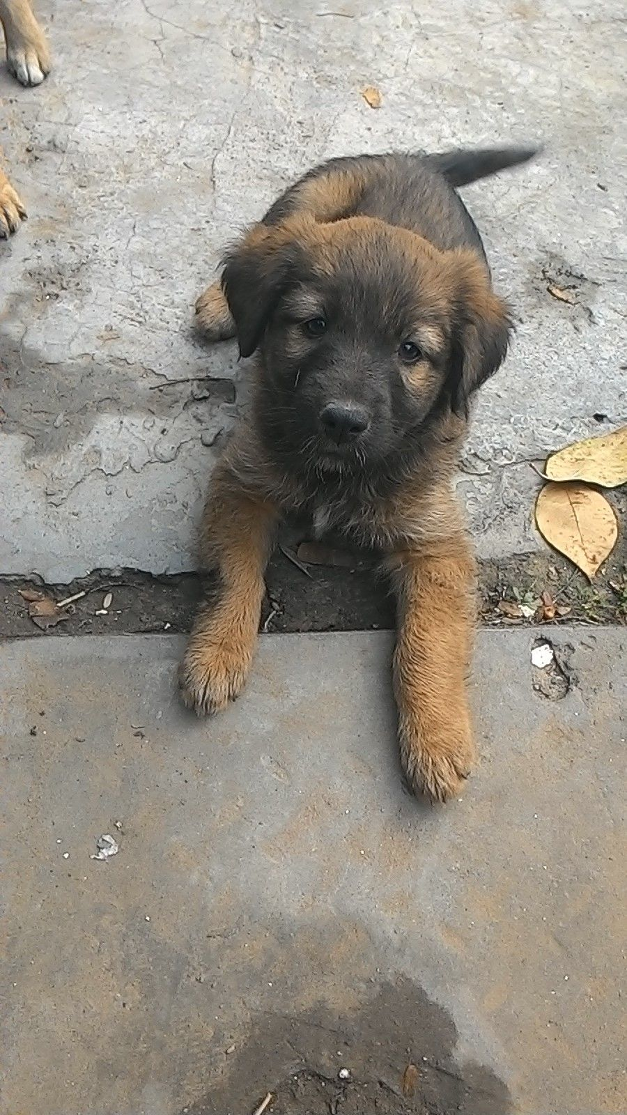 Two Month Old Indi Pup For Adoption In Delhi To Adopt Her Please