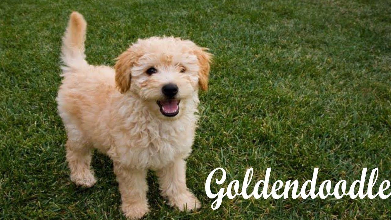 Top 10 Goldendoodle Interesting Facts Doodle dog