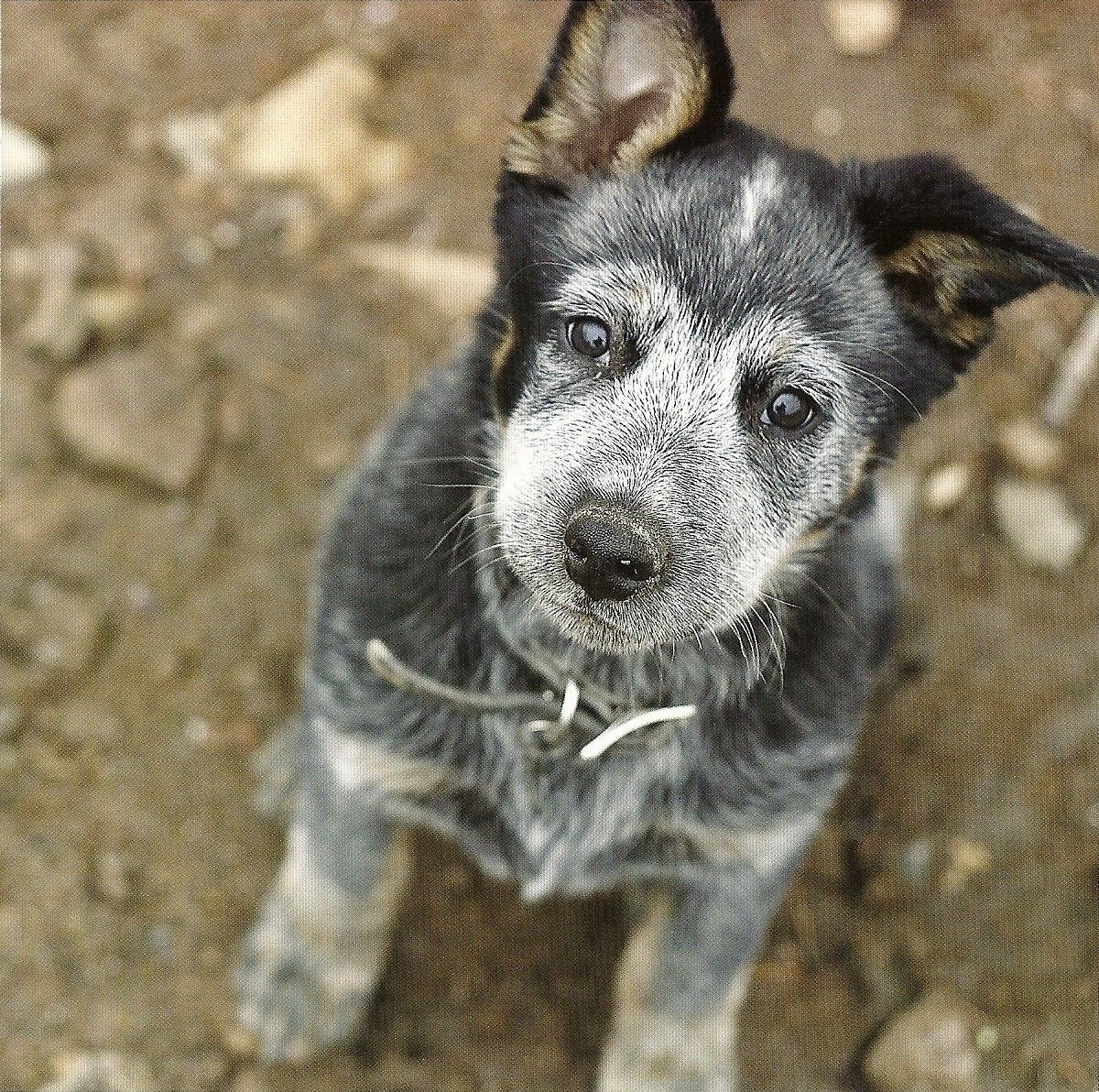 Cattle Dog Puppy Austrailian Cattle Dog Cattle Dog Aussie Cattle Dog