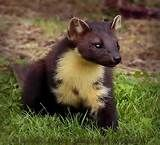 pine marten - Yahoo Image Search Results