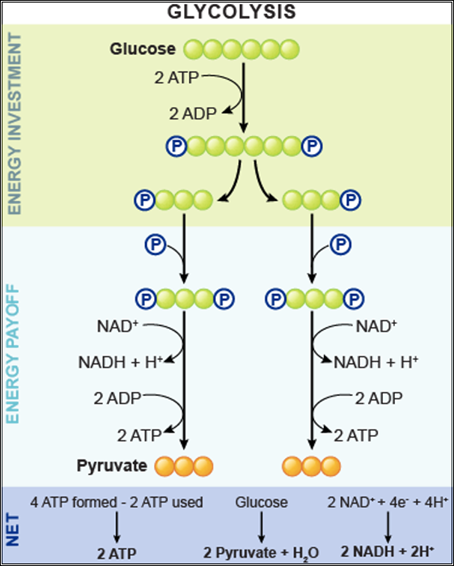 glycolysis pyruvate glucose biology result oxidation carbohidratos ap molecules nad slow atp results respiration cell google molecule reaction biochemistry