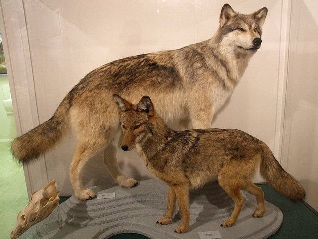 Wolf Vs Coyote By Travis S Via Flickr Wolves Fighting Wolf