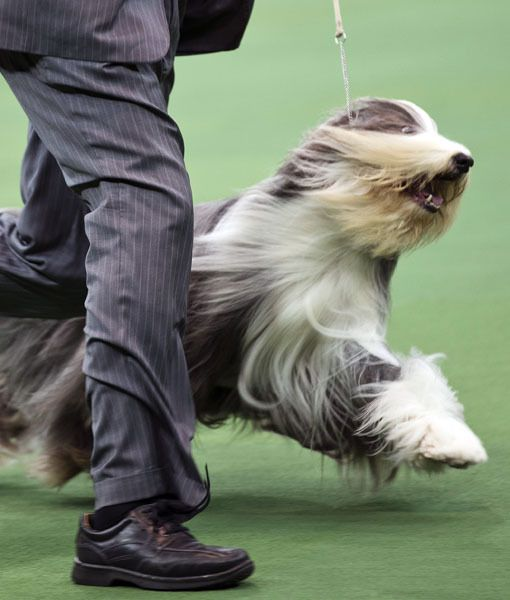 A Handler Shows Off A Bearded Collie With The Herding Group During
