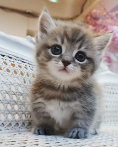 Cute cute kitty cat! Cute cute kitty cat! This cat is so mini you can't resist. credits: catfriends1004 #kittycats