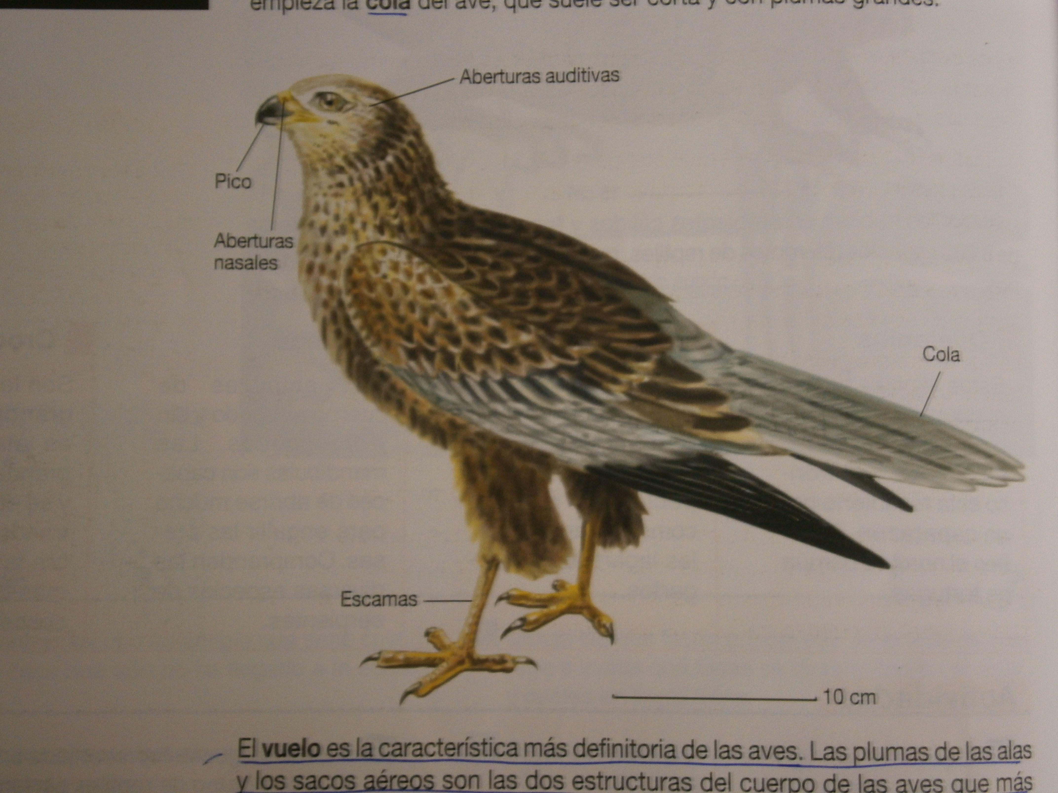 Las Aves son vertebrados homeotermos (son capaces de controlar su ...