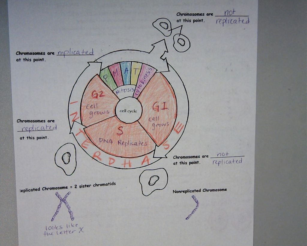 Cell Cycle Coloring Worksheet Biology Biology lessons