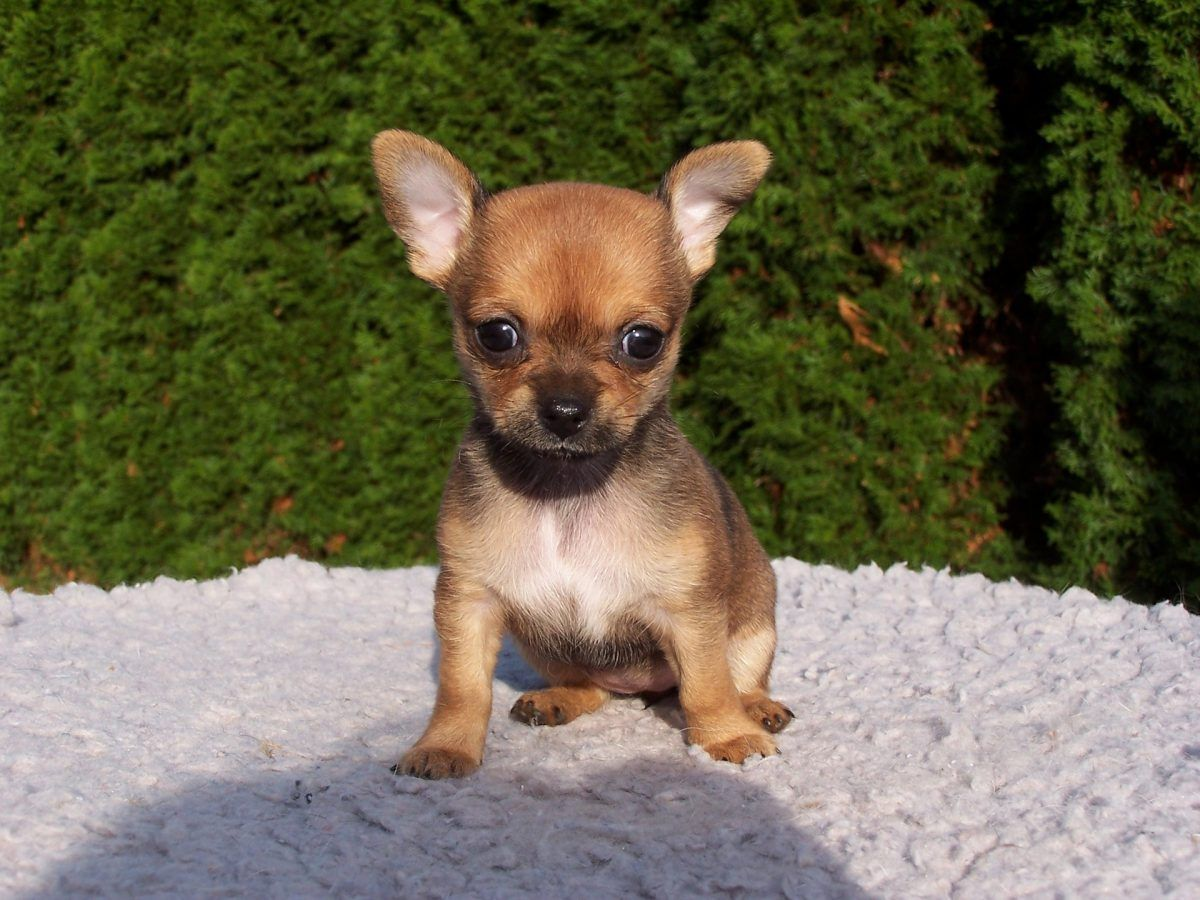 Like Many Dog Lovers Today The Romans Had Miniature Dogs As