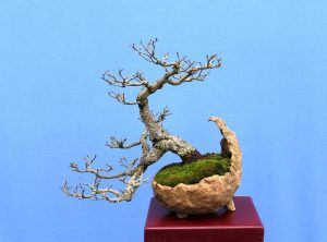 English Elm Semi Cascade Wattos Bonsai Blog Bonsai Cascade Elm