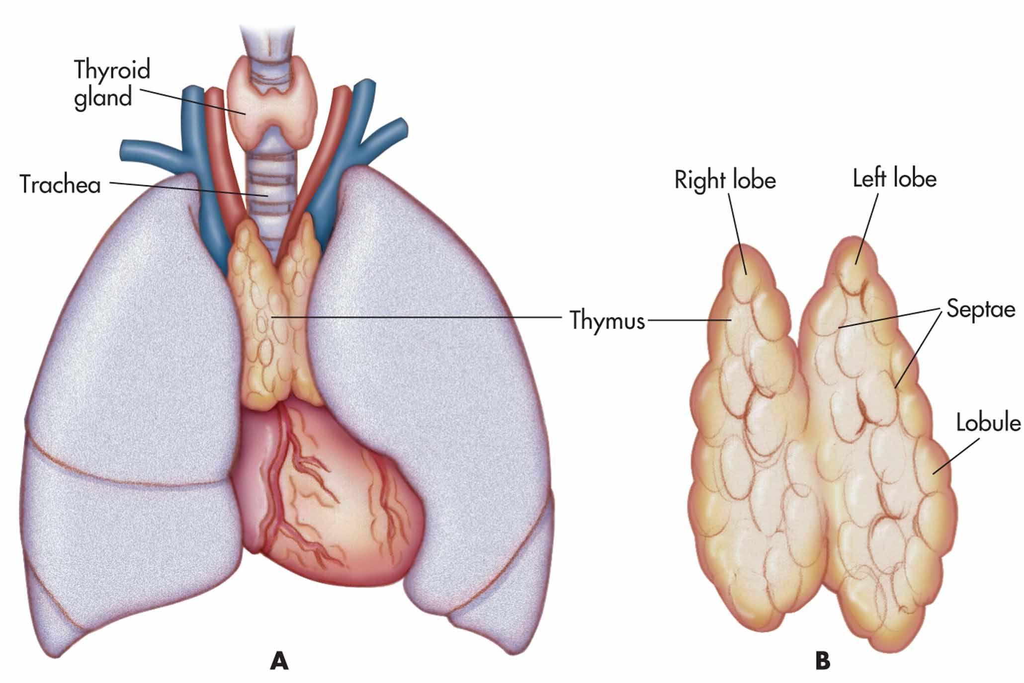 Thymus Pinterest