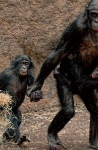 Female Bonobo At The Frankfurt Zoo With Her Offspring The Species
