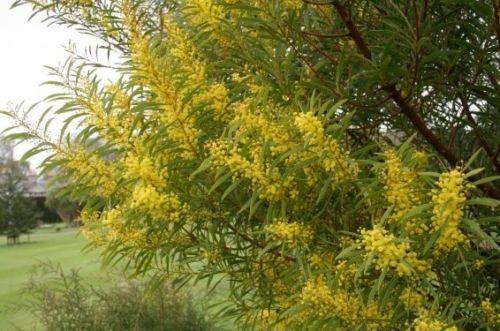 Image Result For Acacia Rubida Dam Plants Plants Herbs Acacia