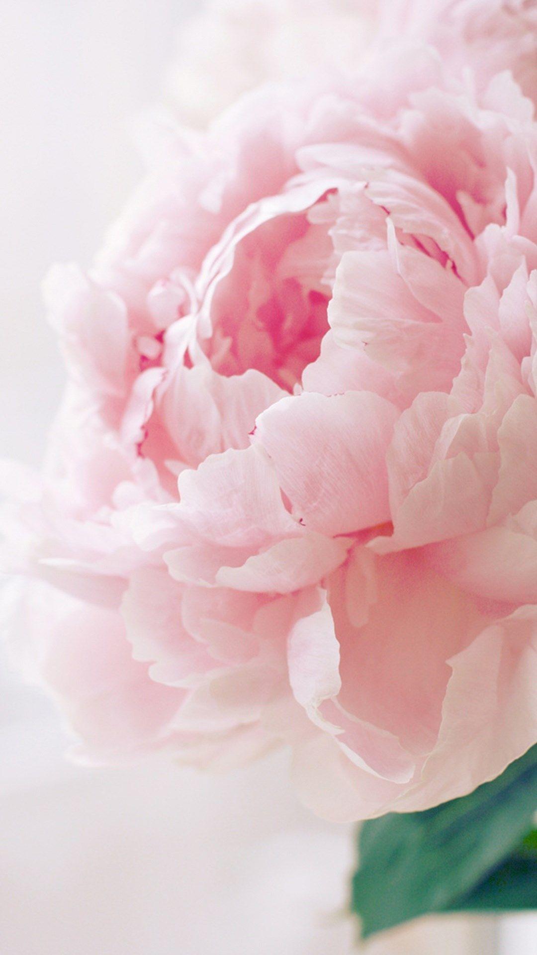 Nature Spring Bloomy Peony Macro iPhone 6 Wallpaper