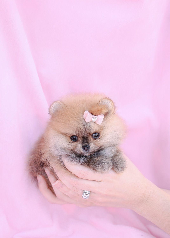micro teacup newborn teacup pomeranian puppy