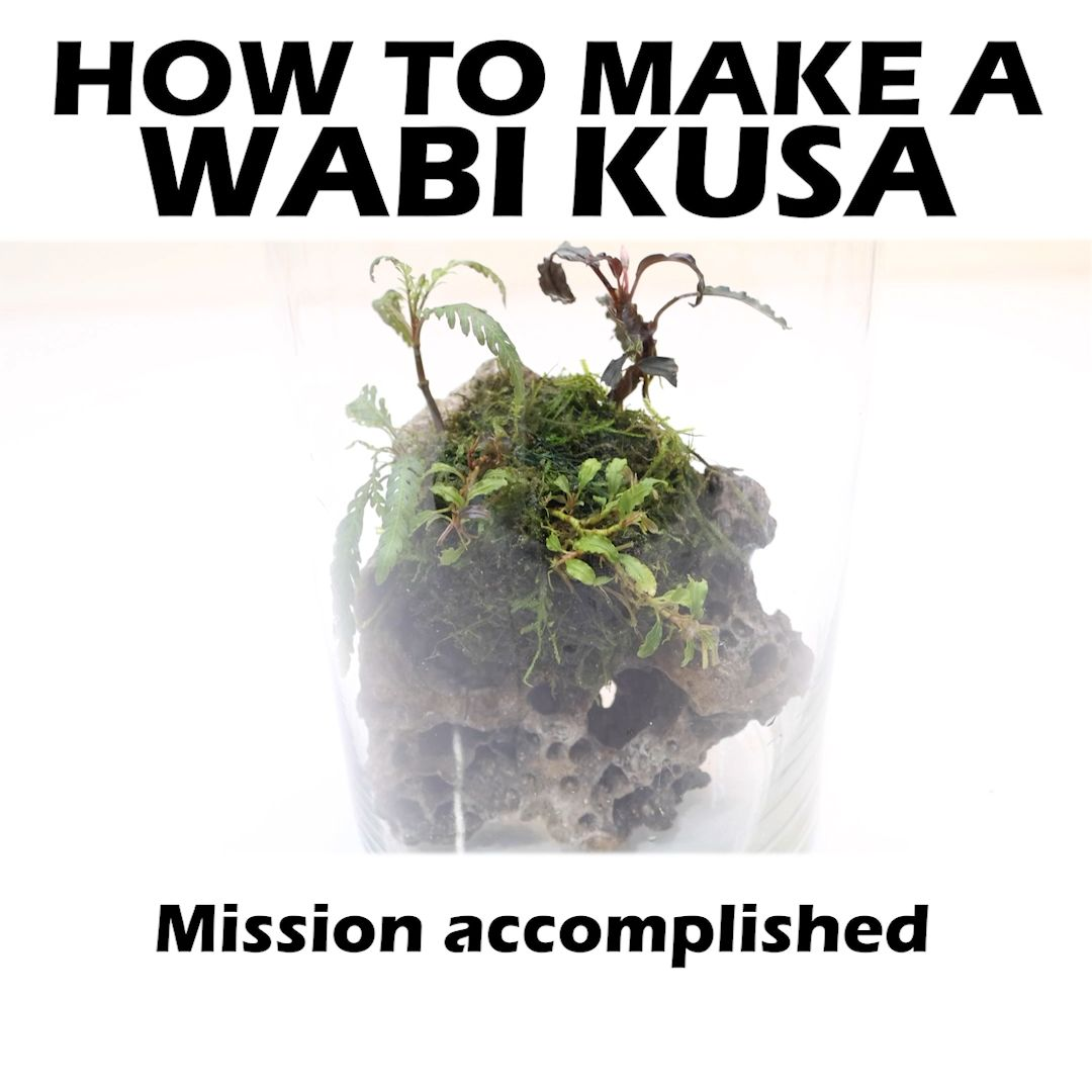 Have you ever made a WABI KUSA? If you would like to make one, the long version to this video can be found on IGTV, Facebook, or YouTube. All of the plants came from Greenhouse 2.0! #wabikusa #mossballs #howto