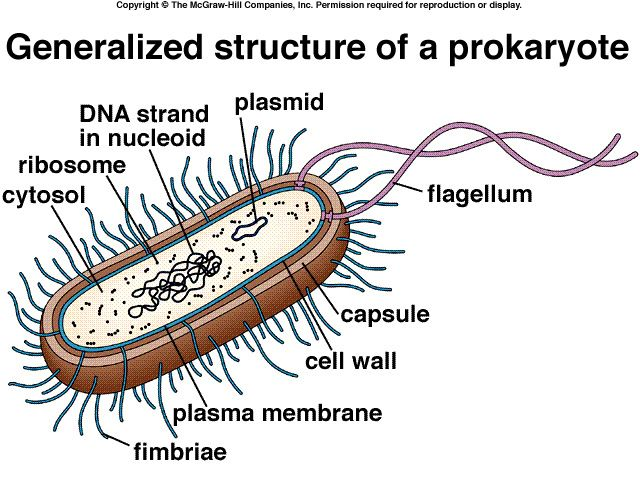 The Typical Textbook Diagram Of A Prokaryotic Cell The Focus Here