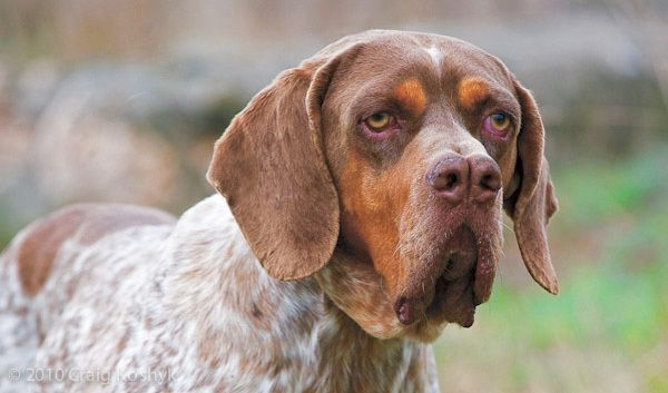 The Pachón Navarro with a nose like the double barrels of a shotgun, is an extremely rare Spanish hunting dog that was once believed to have superior sniffing skills. Now breeders know that the Pachón Navarro's nose is just cosmetically different, and doesn't offer any advantage over a regular dog's nose.