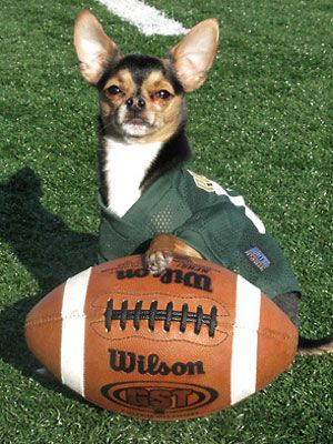 Pets In Football Gear Contest Winner Cute Chihuahua Pets