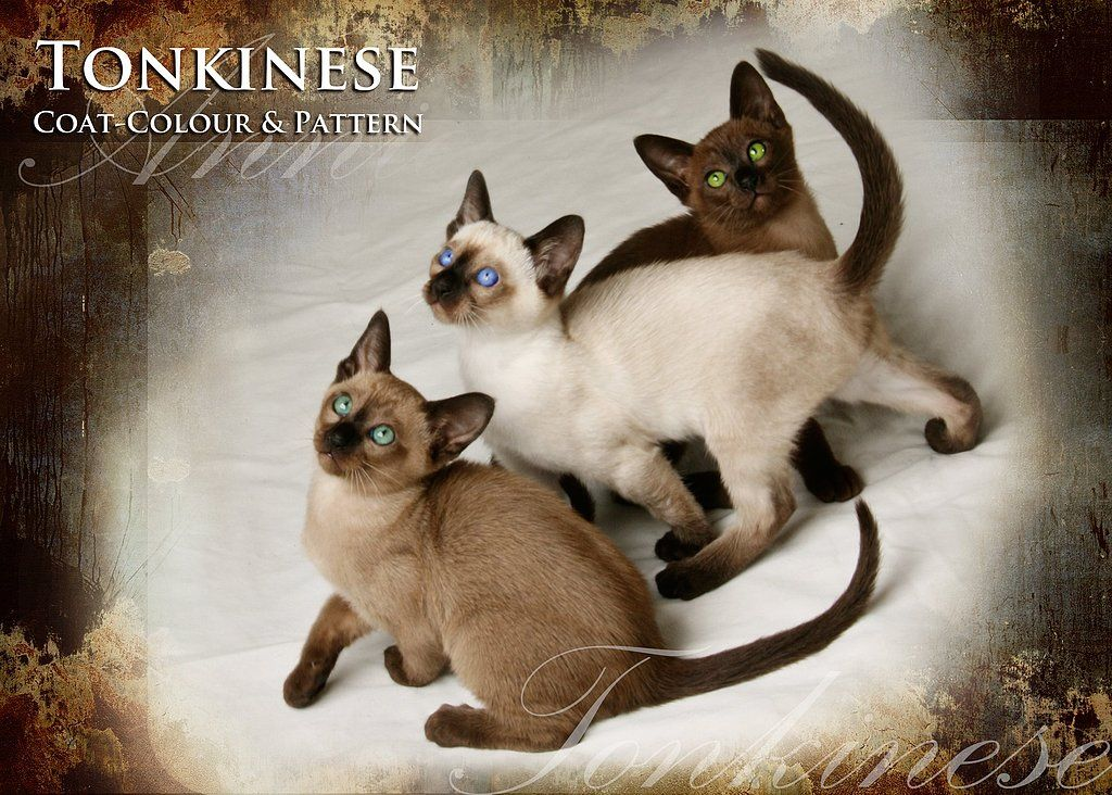 Solid Burmese Expression Of Colour Mink A Blend Of The Burmese Siamese Expression Of Colour Point S Tonkinese Cat Tonkinese Kittens Kitten Breeds