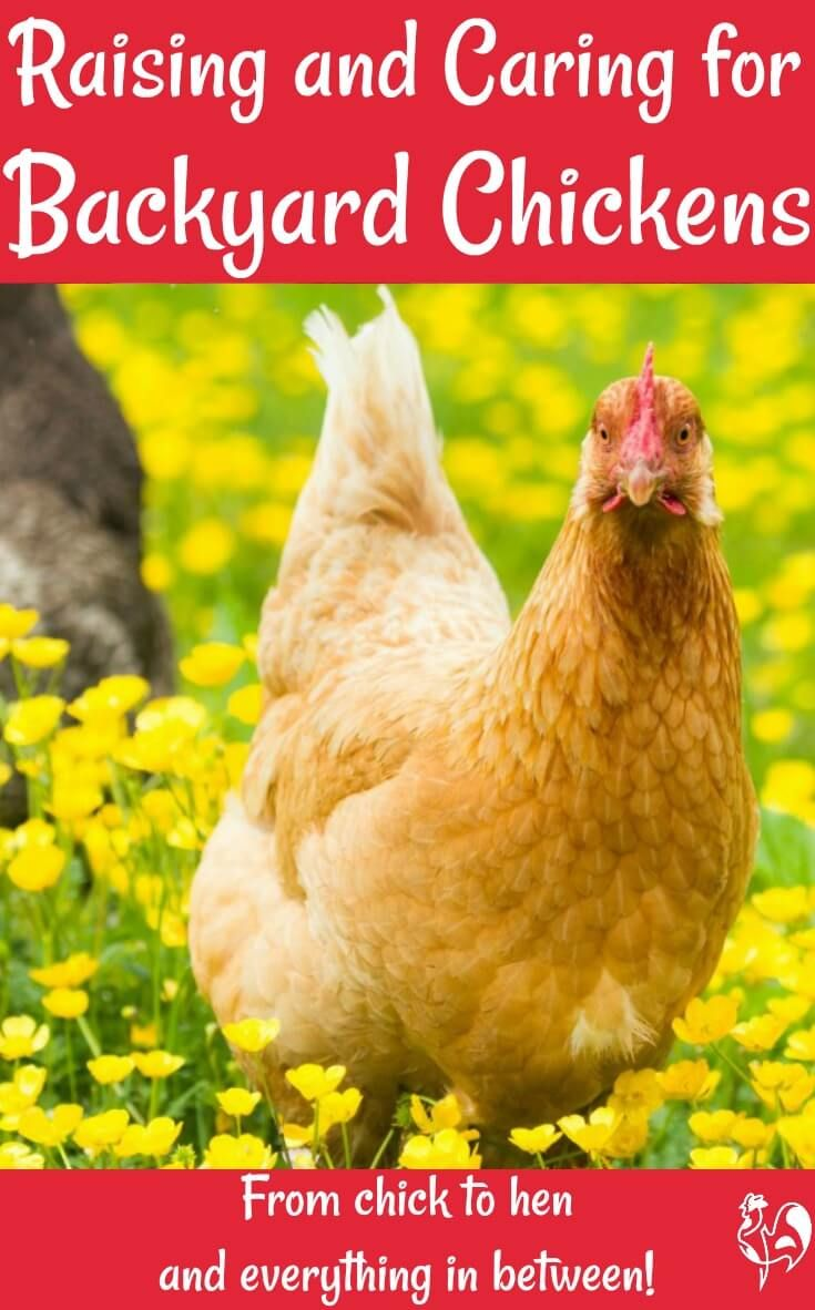 Raising happy, healthy backyard chickens is fun! If you've ...