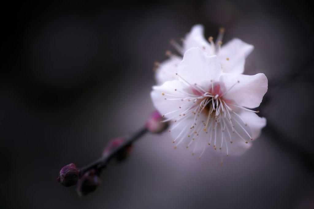 White Ume Blossoms / 白梅の花