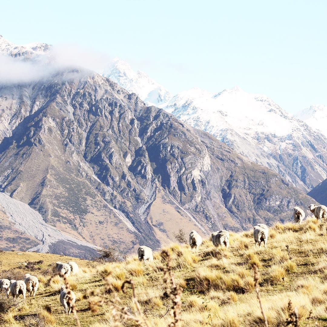 Did you know that there are 30 million sheep in New Zealand? That's about six per person!